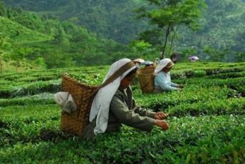 Glenburn-Tea-Estate-Darjeeling